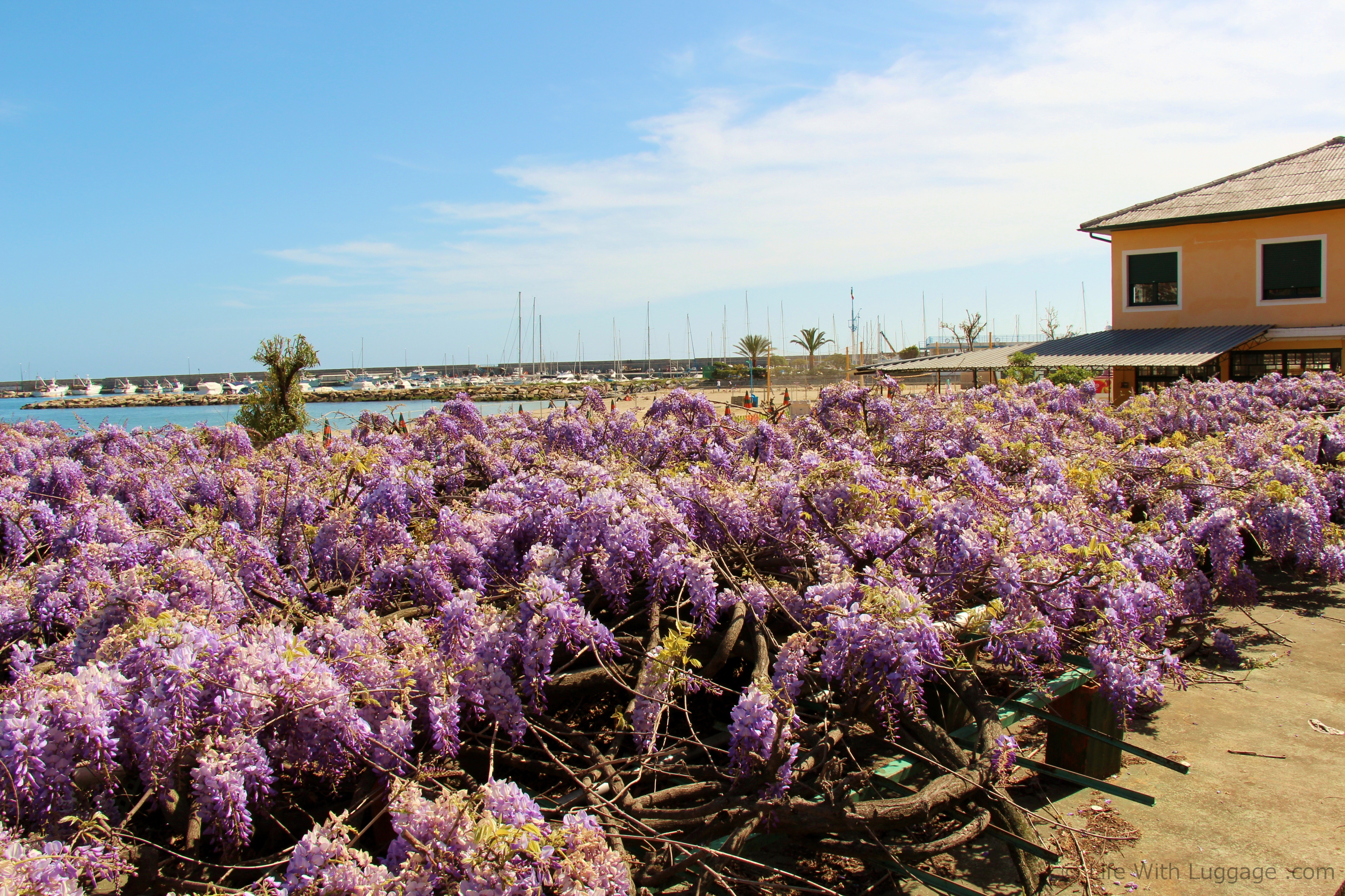 lilacs in san remo, italy