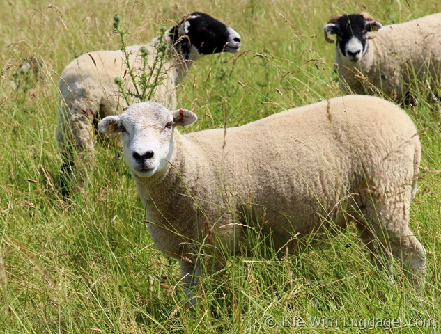 English sheep